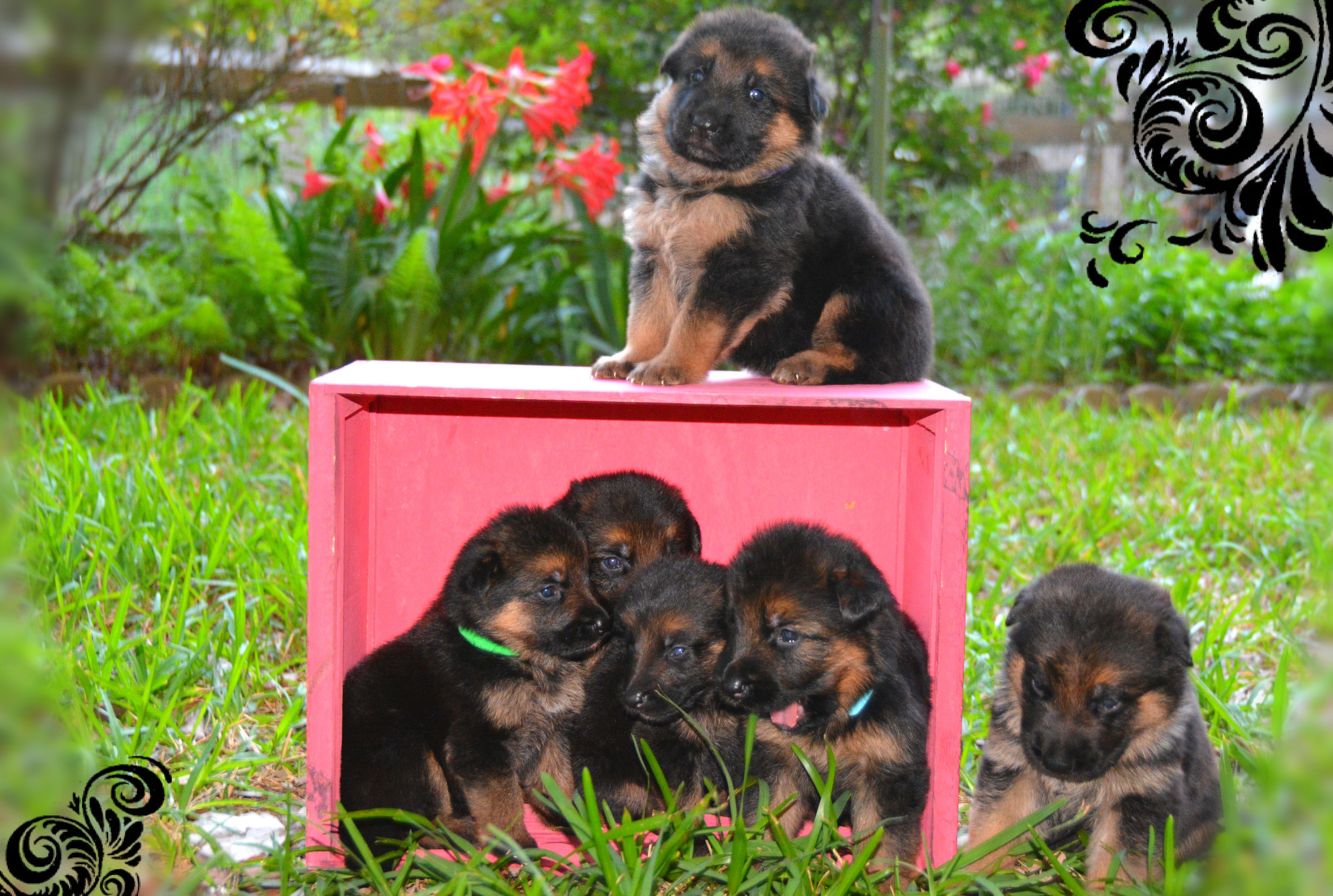 German shepherd pups for sale texas