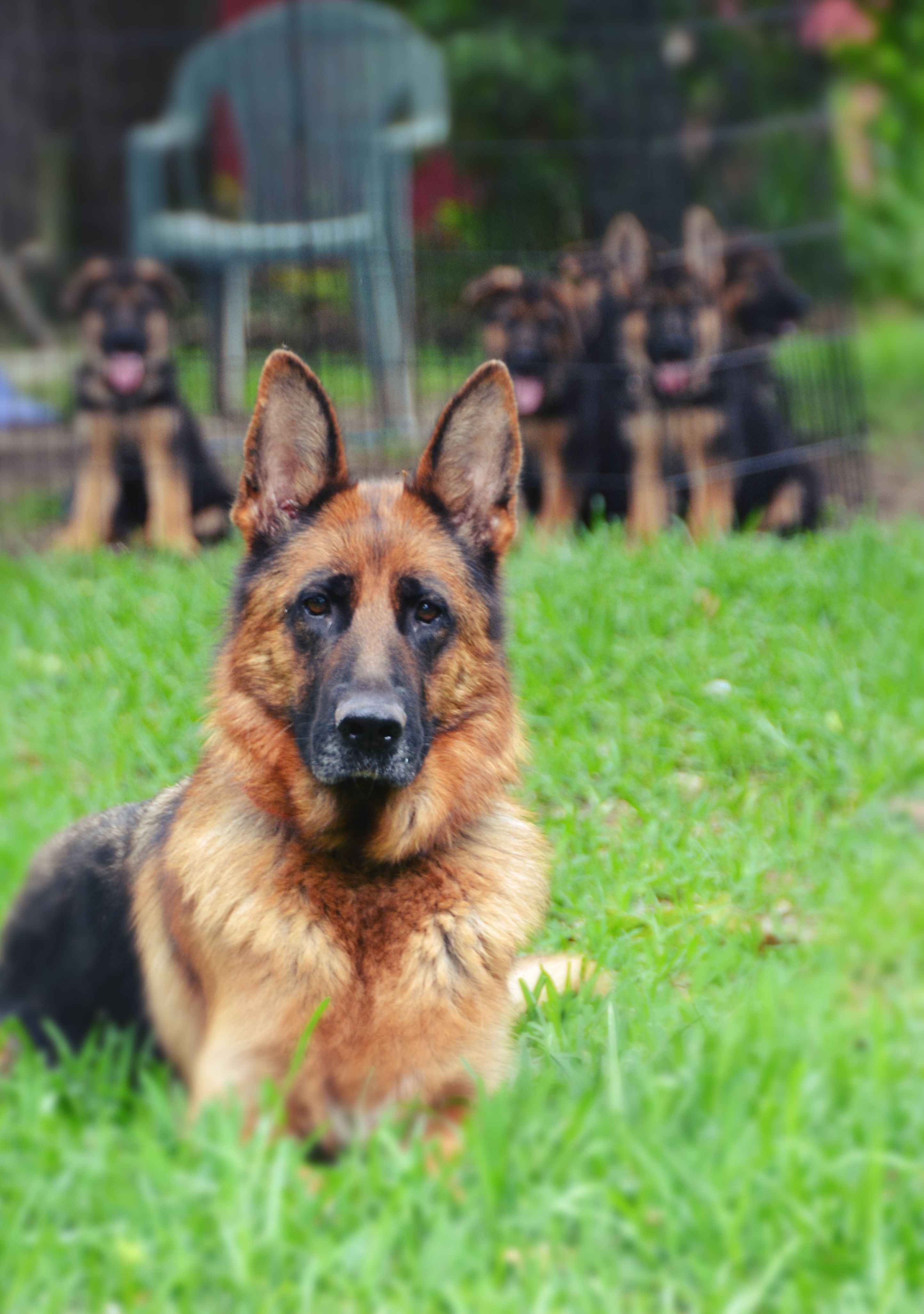 Heritage Hills Ranch - German Shepherd Breeder - Quality Puppies For