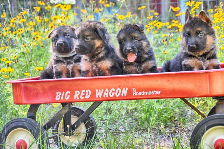 Heritage Hills Ranch - German Shepherd Breeder - Quality